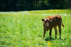La vache nouveau-née reste dans l'herbe verte images libres de droits