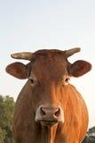 La vache regarde dans l'appareil-photo Photos stock