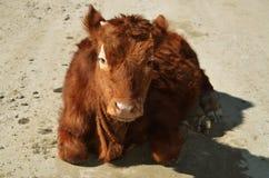 La vache se trouvant à la route Image stock