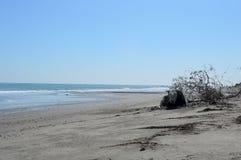 La vache se trouvant sur la plage Photos libres de droits