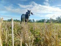 La vache solitaire photos libres de droits