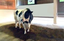 La vache superbe de Chokchai Farm chez Pak Chong, Thaïlande Photographie stock