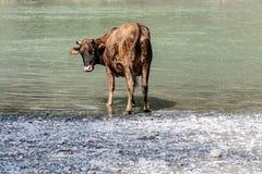 La vache sur la rivière photos stock