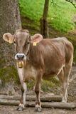 La vache vont au pâturage Photos stock