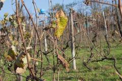 la valle della vigna, pianta da frutto, coltivante la natura, fogliame di caduta, uva autunnale si ramifica Immagini Stock