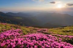 La valle verde alta sulle montagne nel giorno di estate spangled con molti rododendri rosa piacevoli Il tramonto con i raggi Fotografie Stock