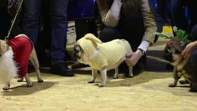 La vantardise de propriétaires de chien de leurs animaux familiers utilisant les costumes canins créatifs au roquet montrent banque de vidéos