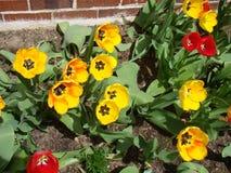 La variété de tulipes jaunissent le rouge et entre dans mon jardin Photos stock