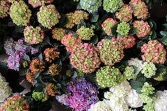 La varietà di ortensia fiorisce nei colori rosa, blu, bianchi, lilla, viola nel negozio greco del giardino Fotografia Stock