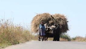 La vecchi donna e buoi agricoli portano il fieno in carretto di legno archivi video
