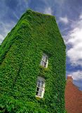 La vecchia casa invasa con l'edera. Immagini Stock