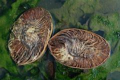 La vecchia noce di cocco, tagliata in due metà, che sono l'un l'altro perpendicolari si trova in una pozza verde Immagine Stock Libera da Diritti