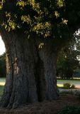 La vecchia quercia a Oak Brook Fotografie Stock