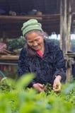La vecchia scelta non identificata dell'agricoltore in foglie di tè Immagine Stock