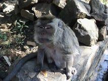la vecchia scimmia è sedersi rilassata sotto un albero fotografie stock
