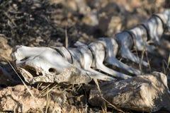 La vecchia spina dorsale di un animale con le costole pungenti si trova fra le pietre Fotografia Stock Libera da Diritti