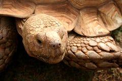 La vecchia tartaruga Immagine Stock