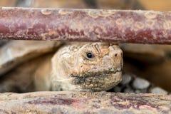 La vecchia tartaruga Immagini Stock Libere da Diritti