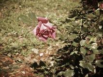La vendimia rosada se levantó imagenes de archivo