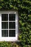 La ventana blanca con la hiedra verde del arrastramiento se va en luz del sol Imágenes de archivo libres de regalías