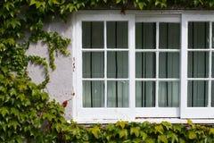 La ventana blanca con la hiedra verde del arrastramiento se va en luz del sol Foto de archivo