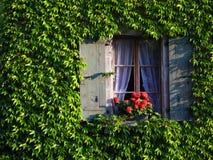 La ventana en hiedra cubrió la pared Fotografía de archivo