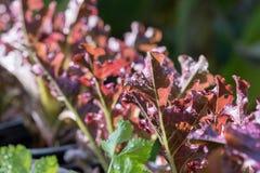 La verdura crescente Fotografie Stock Libere da Diritti