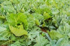 La verdura del cavolo sta sviluppandosi Fotografia Stock Libera da Diritti