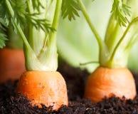 La verdura della carota si sviluppa nel giardino nei precedenti organici del suolo Immagine Stock