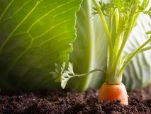 La verdura della carota si sviluppa nel giardino nei precedenti organici del suolo Fotografie Stock