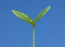 La verdura germoglia in primavera Fotografia Stock