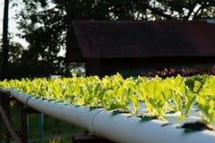 La verdura hidropónica orgánica del hidrocultivo en granja del cultivo Fotos de archivo libres de regalías