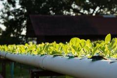 La verdura hidropónica orgánica del hidrocultivo en granja del cultivo Foto de archivo