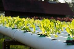 La verdura hidropónica orgánica del hidrocultivo en granja del cultivo Foto de archivo libre de regalías