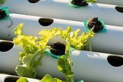 La verdura hidropónica orgánica del hidrocultivo en granja del cultivo Imagen de archivo libre de regalías