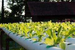 La verdura hidropónica orgánica del hidrocultivo en granja del cultivo Imagenes de archivo