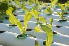 La verdura hidropónica orgánica del hidrocultivo en granja del cultivo fotografía de archivo libre de regalías