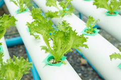 La verdura idroponica ha chiamato Fillet Iceberg Fotografia Stock