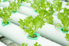 La verdura idroponica ha chiamato Fillet Iceberg o l'iceberg o di Frillice Fotografie Stock