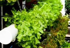 La verdura idroponica organica Immagine Stock Libera da Diritti
