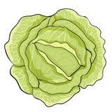 La verdura madura de la col blanca Ilustración del vector ilustración del vector