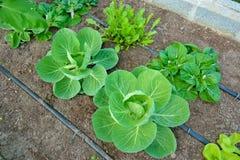 La verdura organica usa il sistema dell'irrigazione a goccia Immagini Stock Libere da Diritti