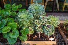 La verdura ornamental púrpura verde hermosa de la col de la plena floración en diagrama del jardín entre verde sale del ambiente Imagenes de archivo