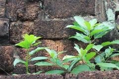 Verdure parmi les ruines chez Banteay Srei, Cambodge Images libres de droits
