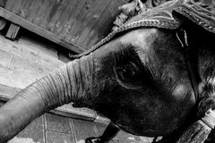 La versione in bianco e nero di povero elefante fotografia stock