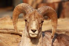 La verticale d'une chèvre avec de grands klaxons Photographie stock