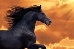 La verticale des passages de cheval de frisian galopent dans le coucher du soleil photos stock