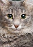 La verticale du chat Images stock