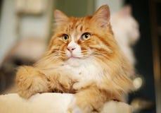 La verticale du chat d'animal familier Images libres de droits