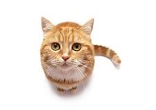 La verticale du chat rouge Images libres de droits